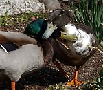 BABYLON-APRIL 06, 2006: It's the season for  male and female Ducks to get close at Argyle Park in Babylon on Thursday, April 06, 2006. (Newsday Photo / Jim Peppler).