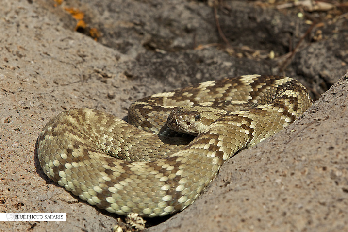 Black tailed rattlesnake on a rock ledge