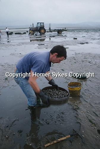 Cockle gathering Gower peninsular, Loughor Estuary, Wales UK. Brian Jones grandson of Selwyn Jones founder of Selwyn's. 1997.