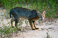 jungle cat (Felis chaus), also called the reed cat or swamp cat, is a medium-sized cat native to the Middle East, South and Southeast Asia and southern China.