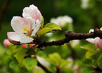 Apple blossom after the rain