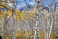 Aspen trunks with fall color. Near Red Mountain Pass, Montana