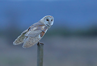 A male barn owl perches on a post in the late evening light.<br />