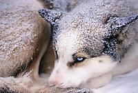 Sled dog waits for the start of the Yukon Quest, Fairbanks, Alaska