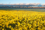 Carrizo Plains was filled with yellow flowers this year just like Shell Creek Road.  I wish I had more time to spend there.  This and another stiched pano, soon to be posted tries to show how vast the wildflower patches were this year.  This being my first time doing wildflowers, future trips have  a lot to live up to.
