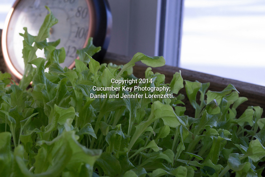 An unheated sunroom is warm enough to grow cold-hearty lettuces even through the winter.