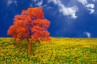 Idyllic fall meadow of goldenrod with red maple (acer rubrum) tree with clear blue sky