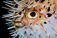 Balloonfish, Diodon holocanthus, off Key Largo, Florida Keys National Marine Sanctuary, Florida, Atlantic Ocean