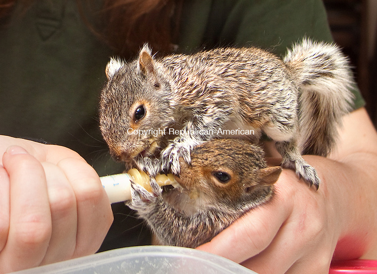 BERLIN CT- MAY 06 2015 050615DA07-  Theresa Nodine, wildife rehavilitator for New Britain Youth Museum at Hungerford Park in Kensington feeds 7 week old baby squirrels which needed rescueing and once they are at the proper health and age they will be released. The State DEEP Recently issued a press release warning people to leave them alone as they usualy don't need rescue. <br /> Darlene Douty Republican American