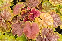 Heuchera Tiramasu foliage perennial plant with leaves in amber shades of gold, yellow, orange, bronze, red