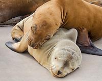 Young California sea lion (Zalophus californianus) pups sleeping/resting on boat dock.  Central California Coast.