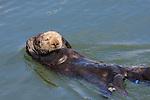 resting sea otter