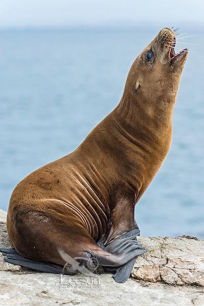 California sea lion (Zalophus californianus) pup barking.  Central California Coast.