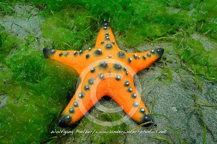 Protoreaster nodosus, Knotiger Walzenseestern, Horned sea star, Bali, Indonesien, Indopazifik,Secret Bay, Gilimanuk, Bali, Indonesien, Indopazifik, Indonesia, Asien, Indo-Pacific Ocean, Asia