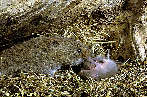 MU30-044z   Meadow Vole - with 128 hour old young (5 day) - Microtus pennsylvanicus