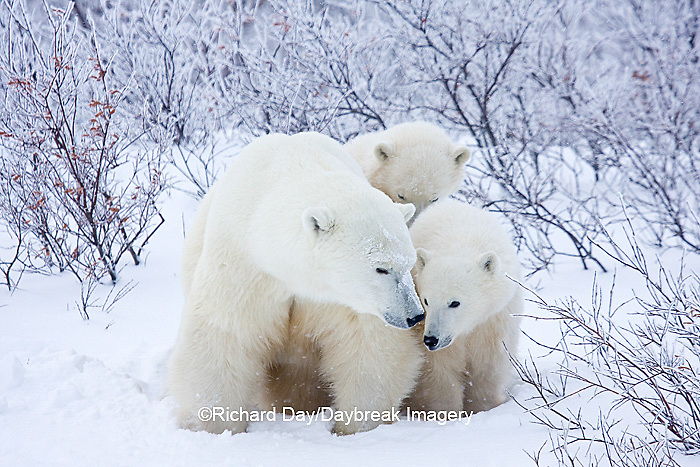 01874-11708 Polar Bears (Ursus maritimus) female and 2 cubs, Churchill Wildlife Management Area,  MB