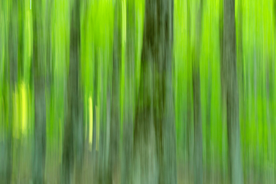 Beech tree forest in the Central Apennines rewilding area, Italy, in and around the Abruzzo, Lazio e Molise National Park.