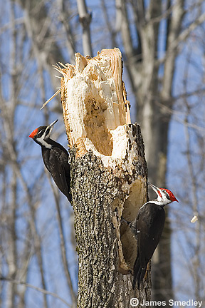Pileated woodpecker on a tree