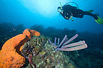 Bonaire, Netherlands Antilles; a scuba diver swims over purple tube sponges and a large, orange elephant ear sponge growing on the coral reef , Copyright © Matthew Meier, matthewmeierphoto.com All Rights Reserved