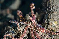 Wunderpus Octopus, Octopus photogenicus, raising tentacles, Segara dive site, Seraya, near Tulamben, east Bali, Indonesia