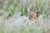 Wild Bobcat (Lynx rufus) resting along edge of overgrown farm field in Central California.  December.  (Completely wild, non-captive cat.)