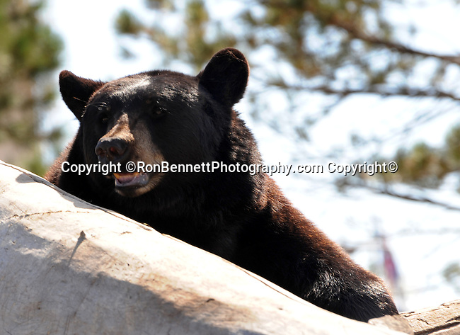 American black bear, black bear, Ursus americanus, North America's smallest and most common species of bear the American black bear,Omnivores, Baribal,  Wyoming, Wyoming is a state in Western United States, Eastern Rocky Mountains, High Plains, least populous state, Cheyenne, Yellowstone National Park, Grand Teton National Park, Devils Tower, Fossil Butte, Oregon Trail, Pony Express, erution of geyser in yellowstone, Crow, Arapaho, Lakota, Shoshone, Fine Art Photography by Ron Bennett, Fine Art, Fine Art photo, Art Photography, Copyright RonBennettPhotography.com ©