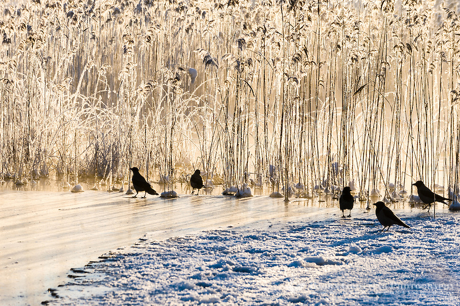 Norway, Stavanger. Crows on Store Stokkavann lake.