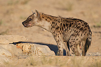 Spotted hyena urinating in waterhole