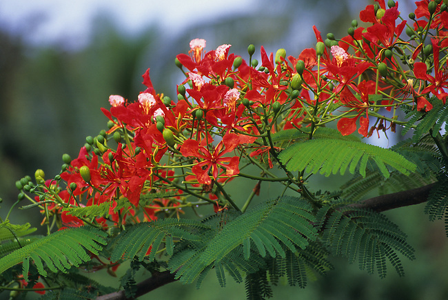 COOK ISLANDS, RAROTONGA, FLAMBOYANT TREE (Delonix regia)