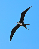 A young female great frigatebird ('iwa or Fregata minor) in flight, Kona Coast, Big Island