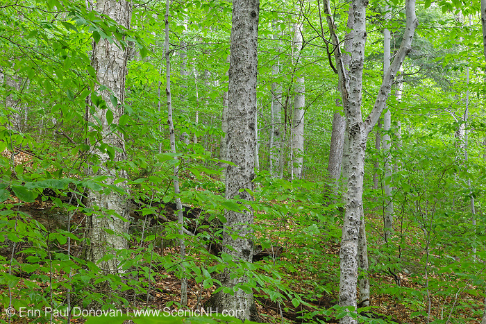 Hardwood Forest in the area of the Haskell Brook drainage of Albany, New Hampshire during the summer months. Maple and beech are the dominate trees. This area is part of the proposed Northeast Swift Timber Project.