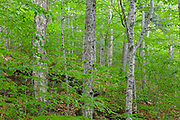 Hardwood Forest during the summer months in the area of the Haskell Brook drainage of Albany, New Hampshire USA. Maple and beech are the dominate trees. This area is part of the proposed Northeast Swift Timber Project.