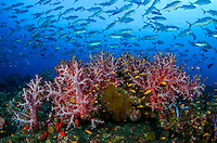 Scalefin Anthias hover among soft corals as Bigeye Trevally pass overhead. Andaman Islands, India