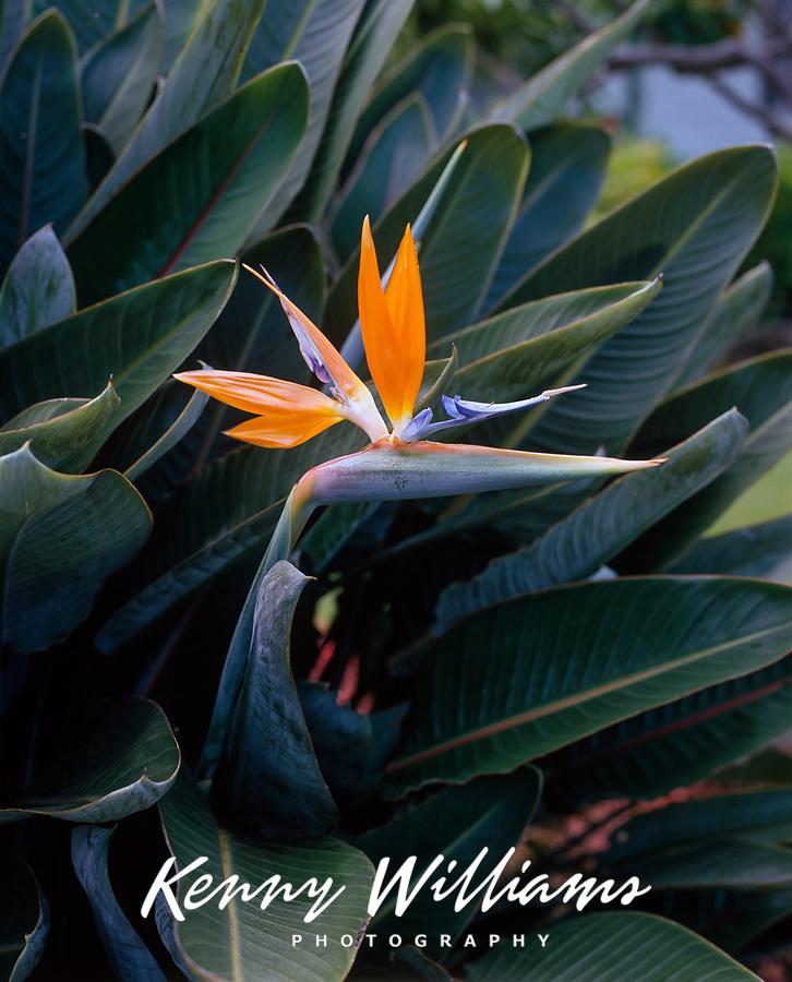 Bird of Paradise, Tropical Flowers, Hawaii, USA.