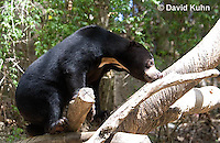 0327-1006  Sun Bear Climbing Tree, Helarctos malayanus  © David Kuhn/Dwight Kuhn Photography.