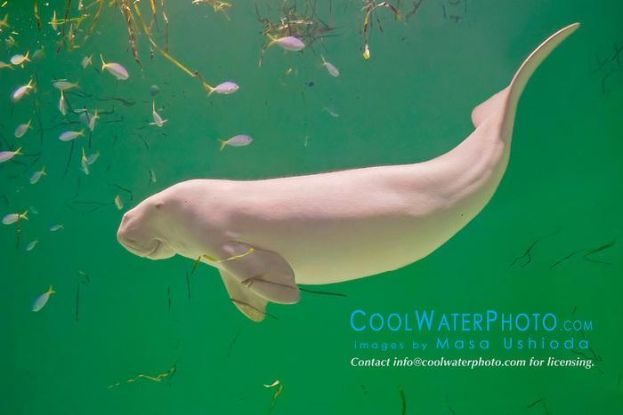 dugong, Dugong dugong, Indo-Pacific Ocean (c)