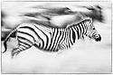 Plains Zebra (Equus quagga) running during the annual Serengeti-Masai Mara migration. Near Ndutu, Ngorongoro Conservation Area, Serengeti Ecosystem, Tanzania.