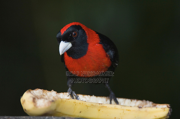 Crimson-collared Tanager, Ramphocelus sanguinolentus, adult perched, Central Valley, Costa Rica, Central America, December 2006
