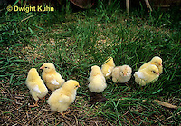 DG13-062z  Chicken Chicks in farm yard