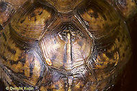 1R43-007x  Eastern Box Turtle - close-up of shell - Terrapene carolina
