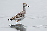 Lesser Yellowlegs (Tringa flavipes) in Southcentral Alaska. Photo by James R.  Evans