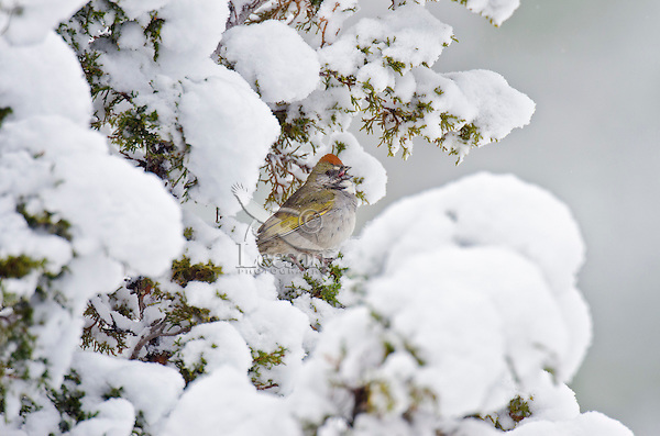 Green-tailed Towhee (Pipilo chlorurus) singing from snowy juniper tree branch.  Western U.S., spring.