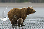 A mother brown bear and her two cubs are searching for razor clams on the shores of Cook Inlet in Lake Clark National Park, Alaska, June 27, 2008.  The bears take advantage of low tide to obtain this protein-rich food, while waiting for the salmon runs to start.  Photo by Gus Curtis.