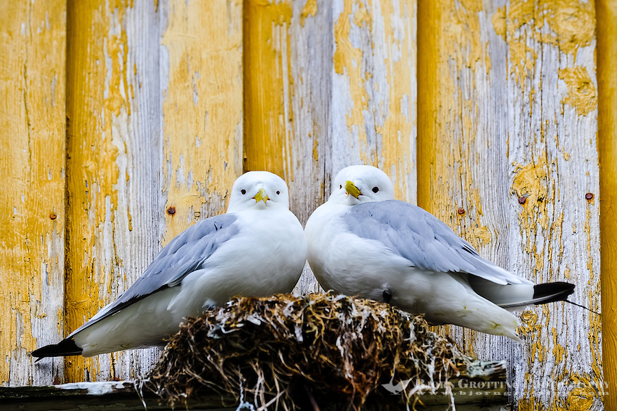 Norway, Vesteraalen. Nykvåg is a small village in Bø, in Vesterålen. Nykvåg is known for its rich bird life. Black-legged Kittiwakes nesting.