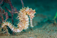 spiny seahorse, or thorny seahorse, Hippocampus histrix, female, Dumaguete, Philippines, Pacific Ocean