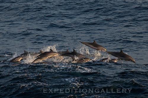 Clymene dolphins (Stenella clymene) surfacing in the South Atlantic Ocean off Angola, Africa.