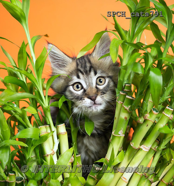 Xavier, ANIMALS, REALISTISCHE TIERE, ANIMALES REALISTICOS, cats, photos+++++,SPCHCATS791,#a#