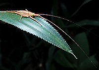 A grasshopper with very long antennae, photographed during a night walk.