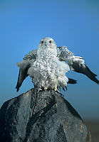 540750007 a captive adult gyrfalcon falco rusticolis perches on a boulder while rousting its feathers in central colorado