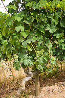 White grapes growing on the vines of Saumur Champigny, Loire Valley, France